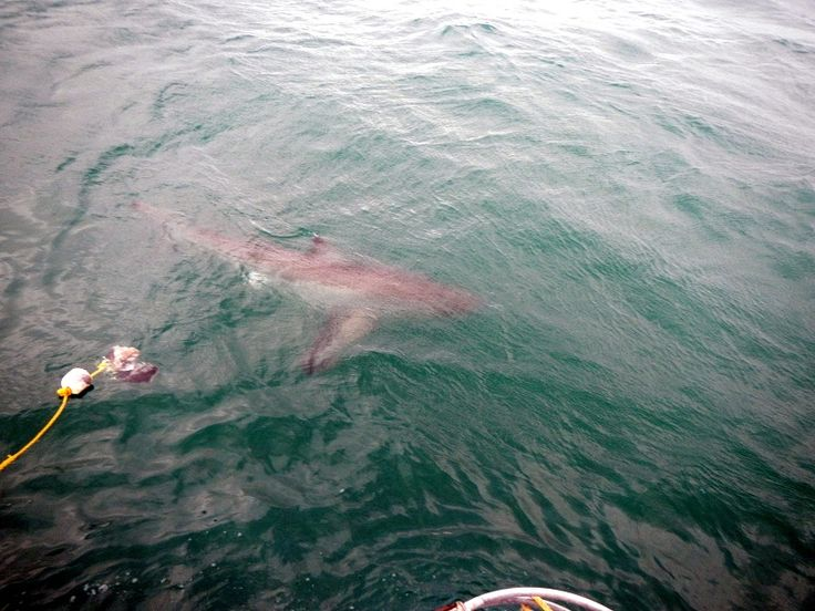 Great white #SHARK.    Cage diving in September of 2012.