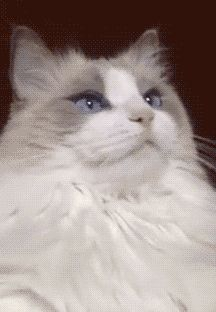 cat's shocked reaction to toothbrush, or, What the Hell Did You Just Put in My Mouth?! [GIF]