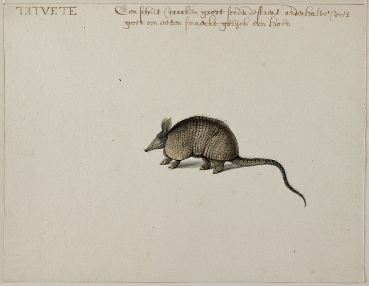 Nine-banded Armadillo, Frans Post (1612–1680), watercolor and gouache, with pen and black ink, c. 1638–44, Noord-Hollands Archief, Haarlem