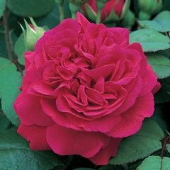 ~Tess of The d'Urbervilles - David Austin Roses, 'Tess of The d'Urbervilles' was the top performing David Austin English roses in a four year trial in the Gulf District Garden at the Gardens of the American Rose Center in Shreveport.