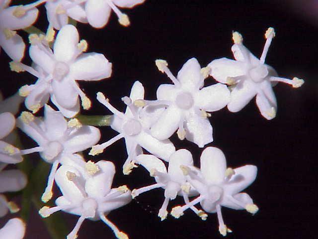 Lavado ocular de flores de sauco para reducir la irritación