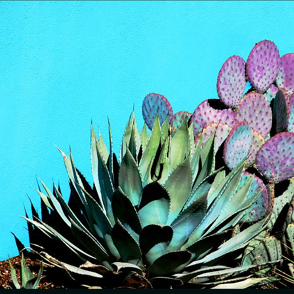 FINE ART PHOTO - southwestern image of agave and purple prickly pear cactus against a turquoise wall background. I love the fun colors!