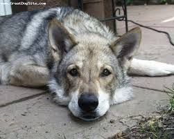 cane lupo del saarloos -