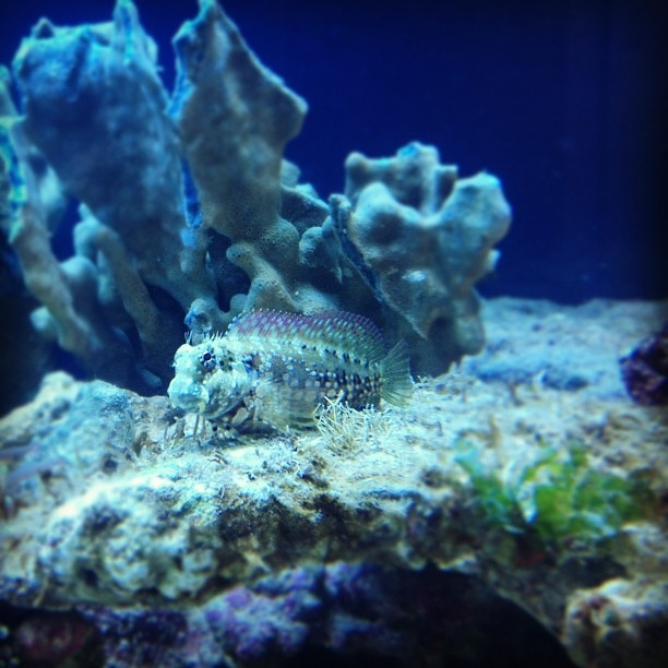 coral banded goby