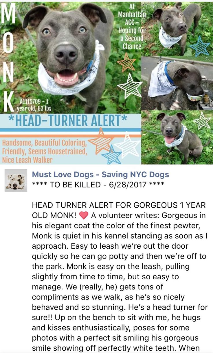 DISGRACE SENSELESSLY MURDERED 6/28/17 6/28/17 THE PUPPY MURDERERS NOTICED MONK COUGHING AND USE THIS EXCUSE TO PUT HIM ON TODAY'S DEATH LIST! TOTALLY UNACCEPTABLY!! PLS GO SAVE THIS BEAUTY! /IJ Manhattan Center MONK – A1115709 **SAFER : EXPERIENCED HOME** MALE, SILVER / WHITE, AM PIT BULL TER MIX, 1 yr STRAY – STRAY WAIT, NO HOLD Reason STRAY Intake condition UNSPECIFIE Intake Date 06/18/2017, From NY 10458, DueOut Date 06/21/2017, http://nycdogs.urgentpodr.org/monk-a1115709/