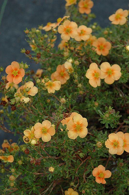 Sun (pm shade). Not moist. Orange Whisper Potentilla (Potentilla fruticosa 'Orange Whisper') at Shelmerdine Garden Center