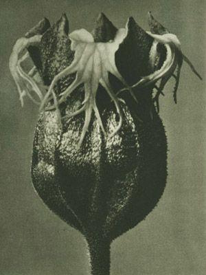 Karl Blossfeldt  Plate # 85: Tellima grandiflora (magnified 25 times)  Photogravure, printed in 1928.
