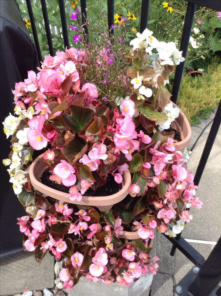Cascades of pink and white begonias