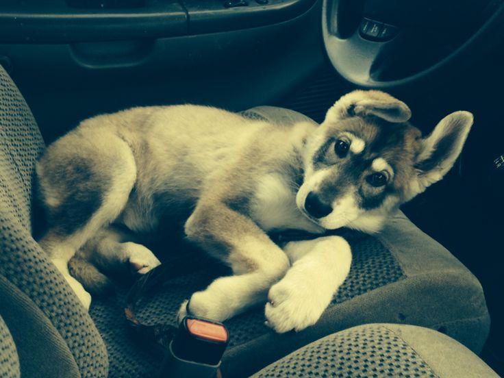 northern inuit puppy. #direwolf