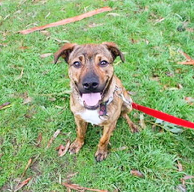 Introducing Jagger!  Jagger is just so happy to see you and just wants to play! He is a very friendly 11 month old Staffordshire Bull Terrier Mix; he is brilliant with other dogs and knows some basic commands such as sit and wait. Jagger would love to find his forever home!  Jagger has been: Vet Checked - Neutered - Vaccinated C5 - Micro-chipped (956000003413434) - Flea and Worm Treated  Contact details: T: 5427 3603 E: shelter@petshaven.org.au