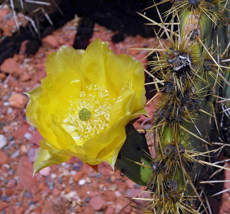Desert Flower Names Free Download Free Photo Desert