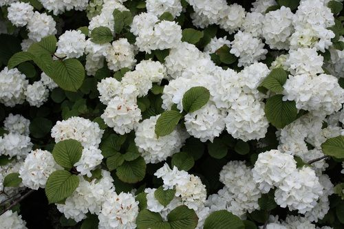 "'Popcorn' Japanese Snowball Bush - 4"""" pot - Viburnum"