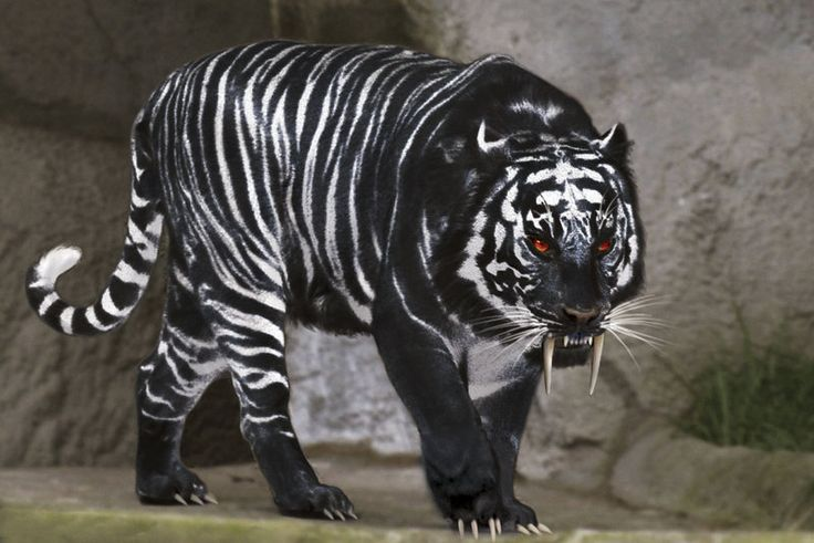 Black Tiger | black_tiger_by_chrischanaud