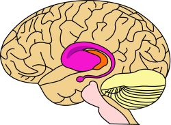 Putamen, caudatenucleus, amygdala = purple. Thalamus = orange. ase of the forebrain (telencephalon). The putamen and caudate nucleus together form the dorsal striatum. It is also one of the structures that comprises the basal ganglia. Through various pathways, the putamen is connected to the substantia nigra and globus pallidus. The main function of the putamen is to regulate movements and influence various types of learning. It employs GABA, acetylcholine, and enkephalin.