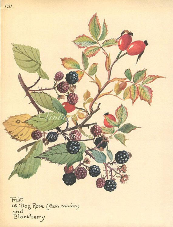 Antique Print, English BLACK BERRIES plants, Edwardian chart beautiful wall art vintage color lithograph illustration 1970 garden