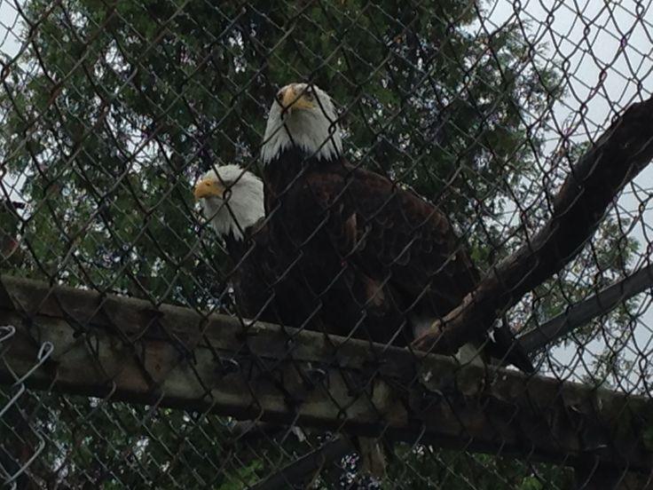 Our Eagles , a trio !