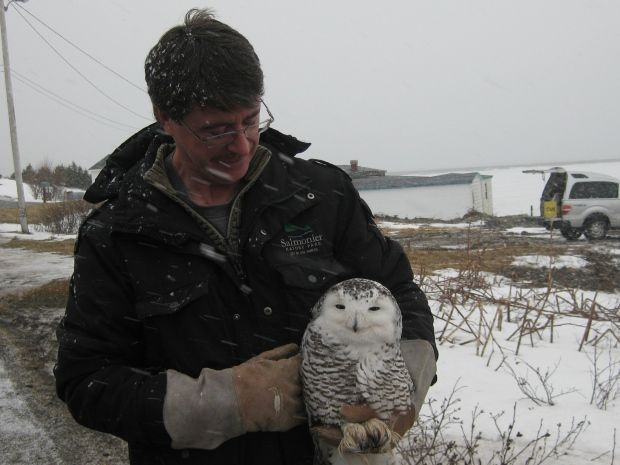 Sue Kelland-Dyer comments: The wonderful staff at Salmonier Nature Park rescuing this beautiful snowy owl.