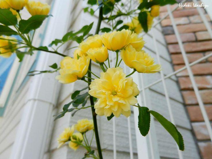 5月11日【モッコウバラ(木香茨、木香薔薇)】学名:Rosa banksiae形態:常緑つる性 樹高:低木分類:バラ科花色:白色か淡い黄色。使われ方:庭木、庭園のアーチやフェンスなどとして使われています。