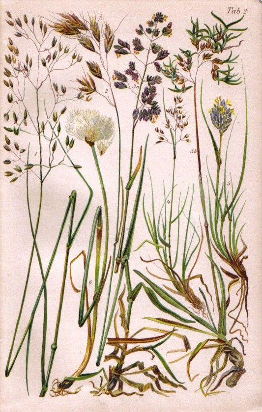 1905 Grasses