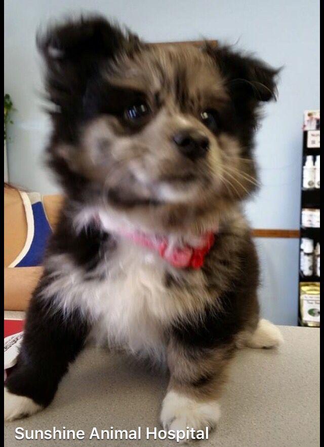 Husky Pomeranian Mix on Pinterest   Pomeranian Mix, Husky and Pomsky ...