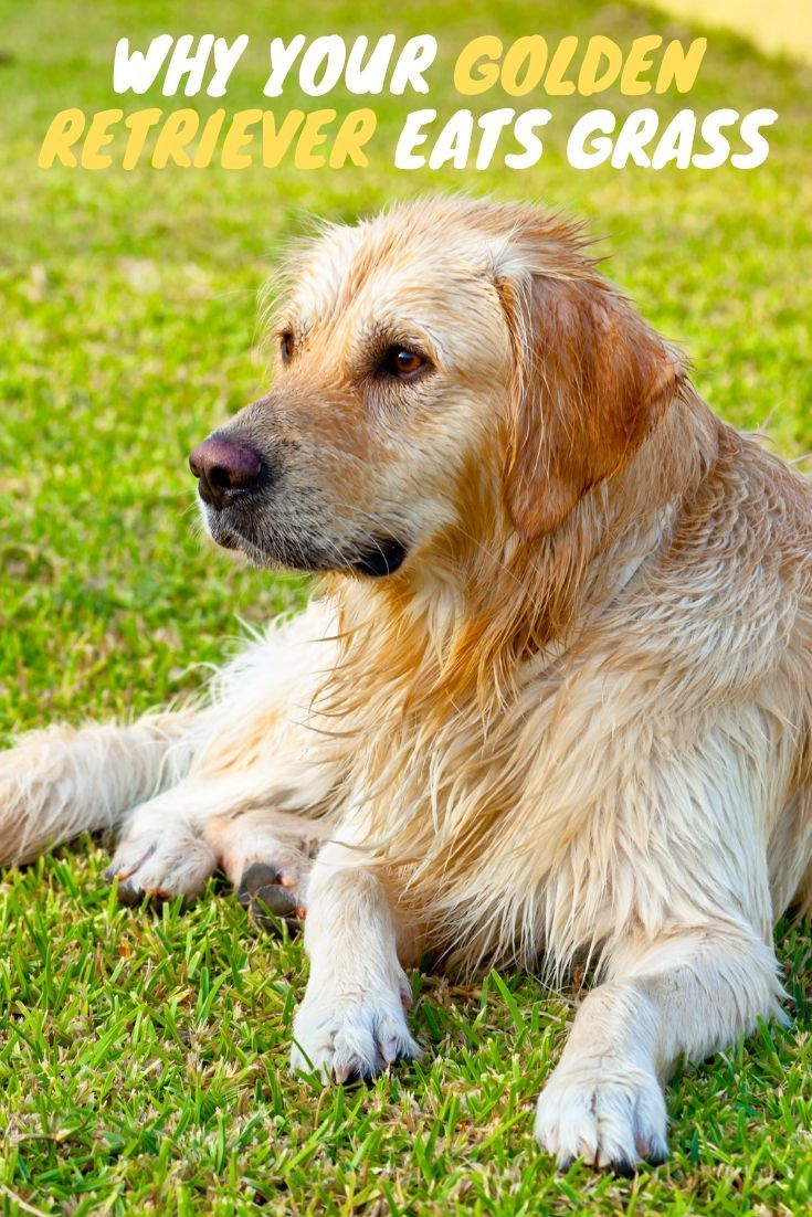 This Post Will Show You Why Your Golden Retriever Eats Grass And