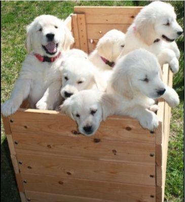 White Golden Retriever Puppies in garden.