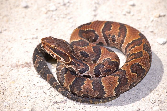 What does a cottonmouth snake look like