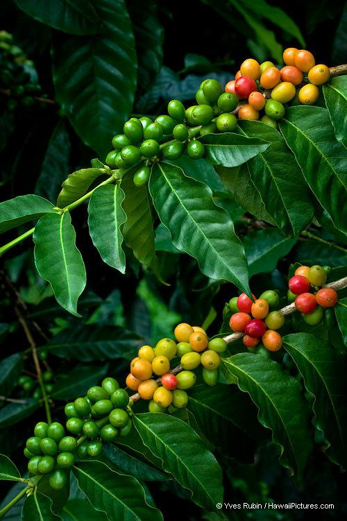 Kona Coffee Beans.  I swear Kona has the best coffee I've tasted.  Greenwell Farms in Kona. Hawaii the Big Island. Been there!