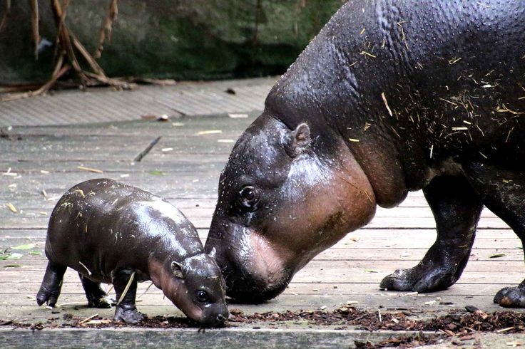 Un bébé hippopotame nain avec sa maman Kambiri au zoo de Taranga, en Australie, le 17 mars.