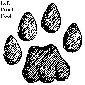 Animal Tracks - Bobcat