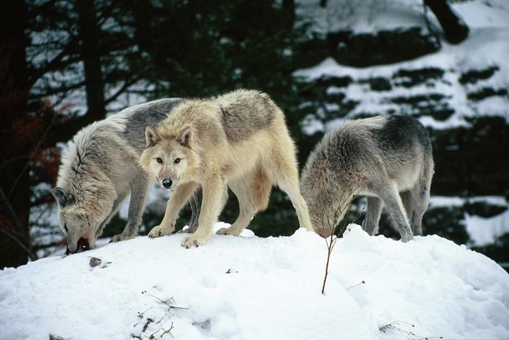 on All About Wolves  http://www.all-about-wolves.com/wp-content/gallery/free-wolf-photos-and-wallpaper/wolf-pack.jpg