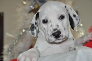 Audio is an adoptable Dalmatian Dog in Royersford, PA. Audio was born on November 1, 2012 along with his siblings. Their are ten dalmatian puppies all together. Audio will be available for adoption so...
