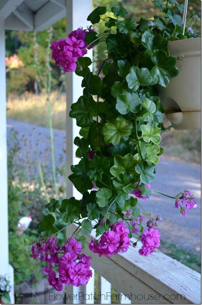 Overwinter your favorite plants overwintering ivy and plants - Overwintering geraniums tips ...