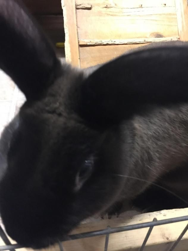 Bugs is a rabbit for adoption at the Friends of Perry Animal Shelter