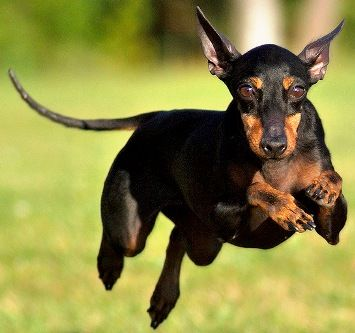 Manchester Terrier - The Manchester Terrier comes in two varieties: the Toy, which weighs up to 12 lbs and the Standard, which weighs more than 12 lbs but must not exceed 22 lbs. They are black and tan in color and have a short, sleek coat. They are neat and tend to groom themselves.