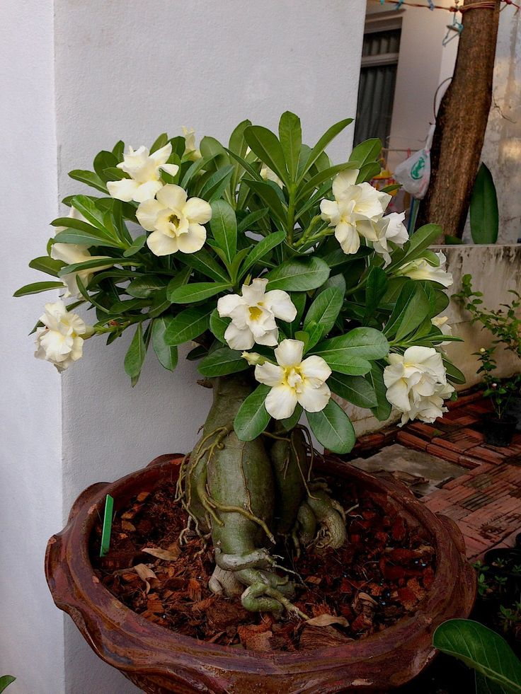 how to make rose bonsai plant