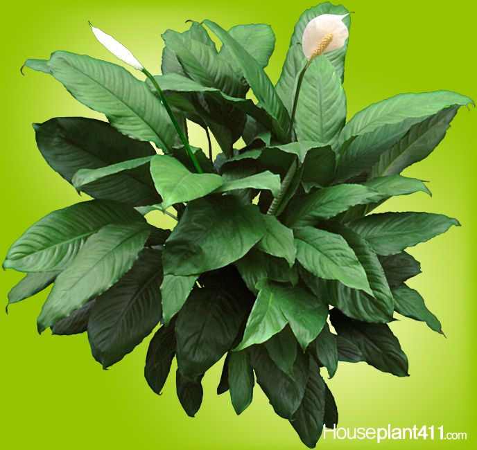 peace lilies with their big glossy leaves are houseplants that clean the air - House Plant Identification By Leaf