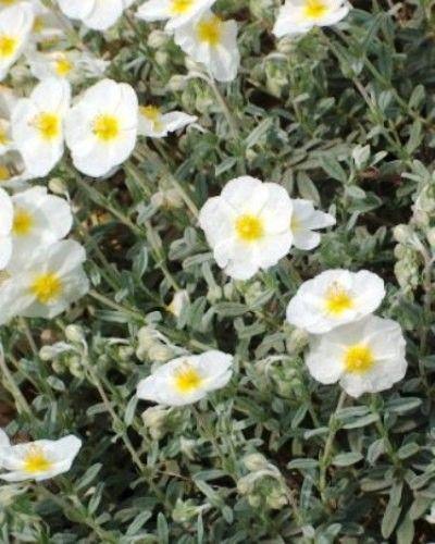 Helianthemum The Bride - Plante tapissante blanche à coeœur jaune. Feuillage persistant gris.   Taille : 10cm  Floraison : Mai à Juillet  Exposition : Soleil  Sol : Drainé  Utilisation : Bordure, rocaille
