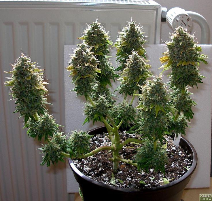 Cannabis Bonzai '