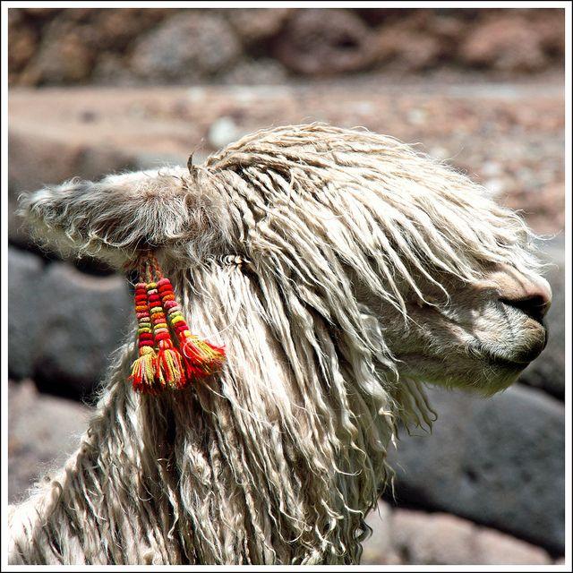 Hair style - Suri alpaca in Cusco