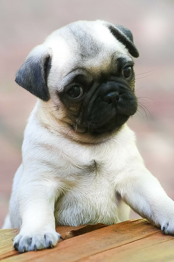 28100 Best My Life As A Pug Mom Images On Pinterest Pug Dogs Pugs