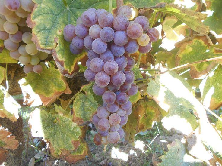 Grapes - Variety of Moschofilero