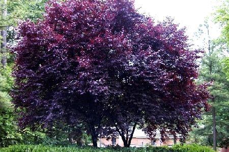 Purple Leaf Plum Trees..love them in bloom