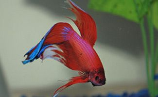 How to Choose the Right Betta Fish Tanks... - http://nifyhealth.com/how-to-choose-the-right-betta-fish-tanks/