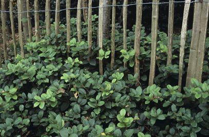 Ericaceae: Gaultheria shallon