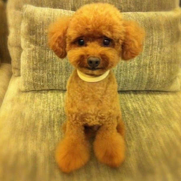 Small poodle cut