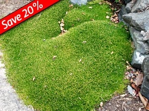moss ground cover for zone 7 | greenhouse at Kaboodle