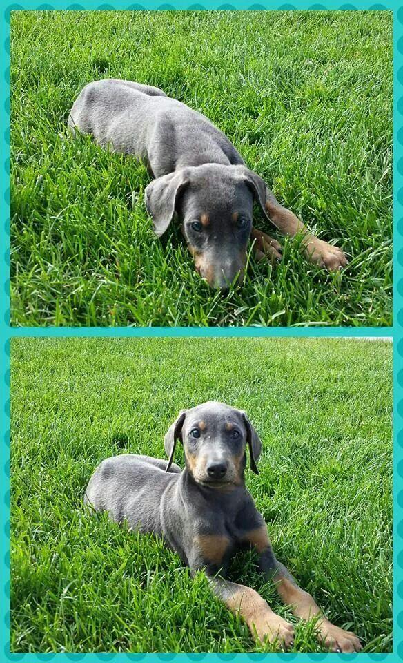 Blue Doberman puppy named Texas