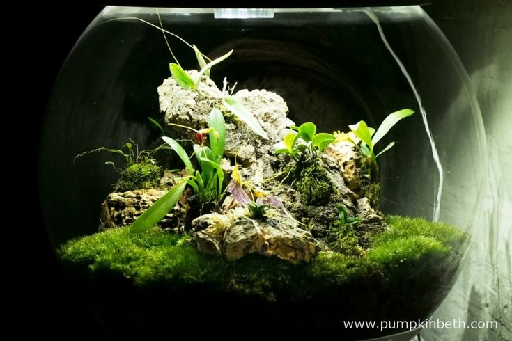 My Miniature Orchid Trial BiOrbAir Terrarium, as pictured on the 9th April 2016 after some re-organisation, and the addition of some new miniature orchids. Currently Lepanthopsis astrophora 'Stalky', Masdevallia decumana, Masdevallia rechingeriana, Bulbophyllum falcatum 'Minor' and Dryadella simula are all in flower inside this terrarium. Domingoa purpurea has produced flower spikes, but the flowers are yet to open.