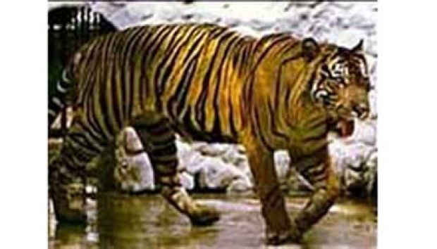 The Javan tiger (Panthera tigris sondaica) is an extinct tiger subspecies that inhabited the Indonesian island of Java until the mid-1970s. Description from imgarcade.com. I searched for this on bing.com/images